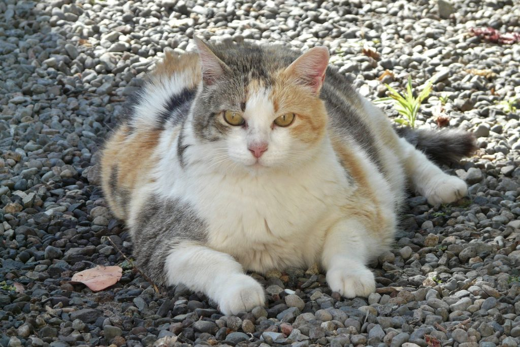 Your Fat Cat: The Problem With Feline Obesity